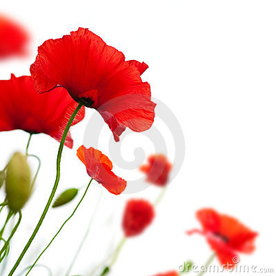 flower, Poppy isolated on white background