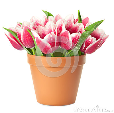 Free Flower Pot With Pink Tulips Royalty Free Stock Photo - 25194385
