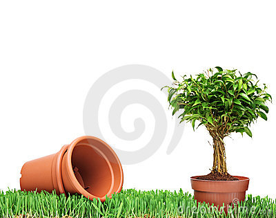 Flower pots and a Ficus on a grass