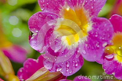 Flower After Rain Royalty Free Stock Images - Image: 25052339