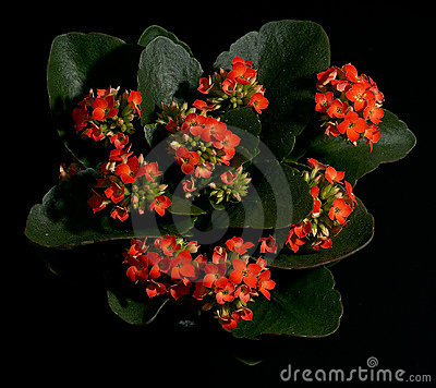 Free Flower Red Kalanchoe Stock Photography - 397532