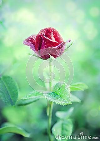 Flower Red Rose in a garden
