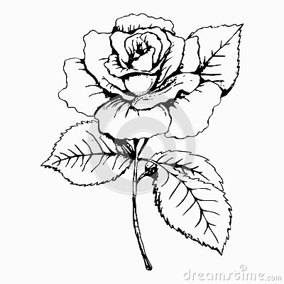 Free Flower Rose, Sketch, Painting. Hand Drawing. White Bud, Petals, Stem And Leaves. Monochrome, Black And White Illustration. Decorat Royalty Free Stock Image - 67404246