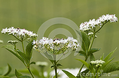Flower of sambucus
