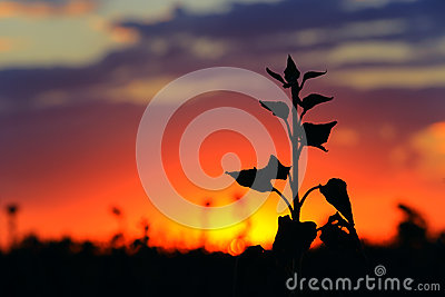 Flower silhouette on sunset