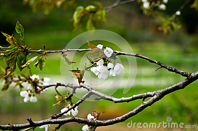 Flower spring blossoms