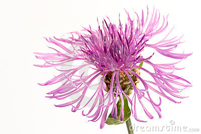 Flower of a thistle