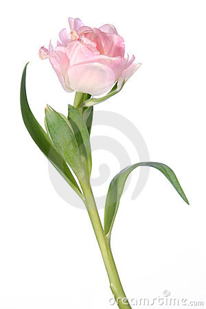 Free Flower Tulip Detail And Isolated Stock Photos - 1973213