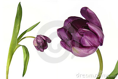 Flower tulip detail and isolated