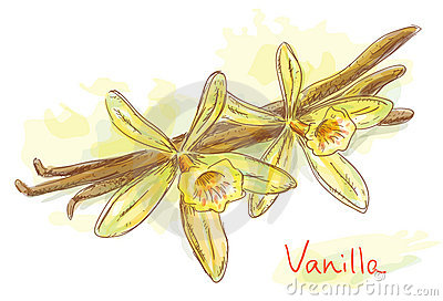 Flower vanilla with dried pods.