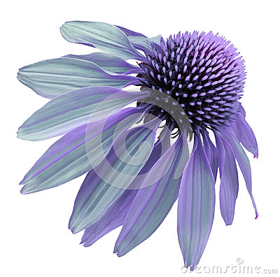 Free Flower Violet-turquoise Chamomile On A White Isolated Background With Clipping Path. Daisy Purple For Design.  Closeup No Shadows. Stock Images - 98232964
