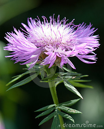 Flower of the Whitewash Cornflower