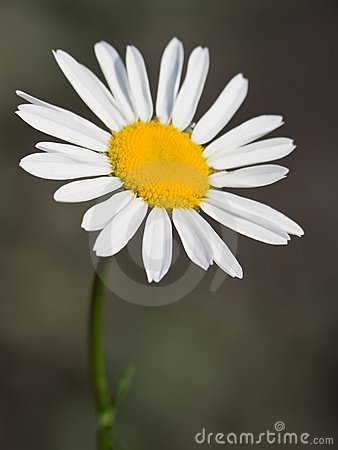 Flower of a wild chamomile