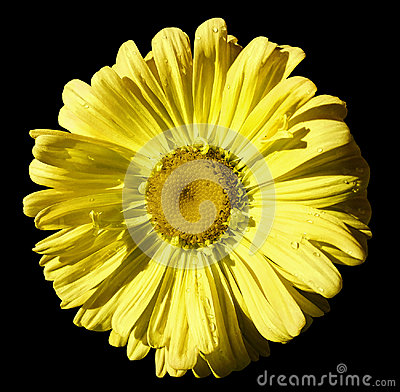 Free Flower Yellow Chamomile On Black Isolated Background With Clipping Path. Daisy Orange-yellow With Droplets Of Water For Design.  C Stock Photography - 98659262
