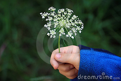 Flower in a young child s hand.