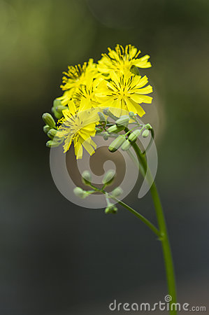Flower of Youngia
