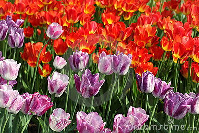 Flowerbed with bright purple and red tulips