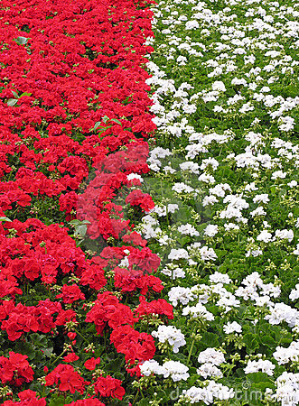 Flowerbed red & white