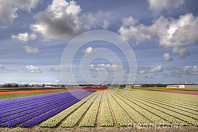 Flowerfields in Holland
