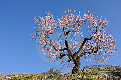 Flowering almond tree