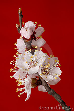 Flowering apricot branch