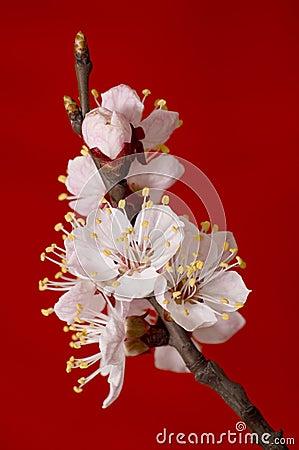 Flowering apricot branch