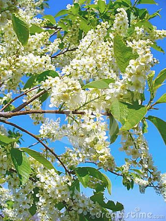 Free Flowering Bird Cherry Tree Royalty Free Stock Images - 24543459