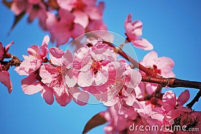 Flowering black plum branch