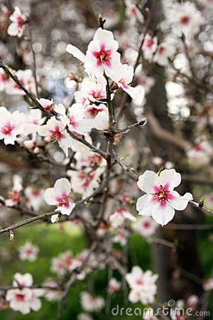 Flowering branch, almond tree