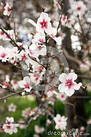 Flowering branch, almond tree