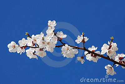 Flowering of cherry