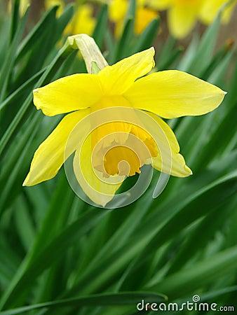 Flowering daffodil