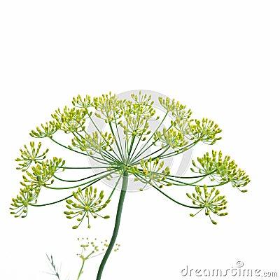 Flowering Dill (anethum graveolens)