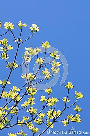 Flowering Dogwood