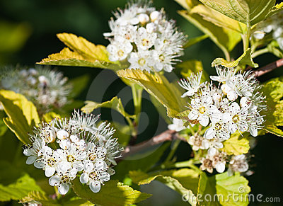 Flowering Dogwood tree -- Cornus alba