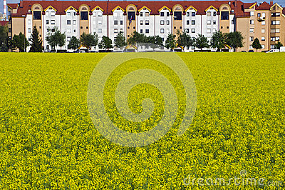 Flowering field of rape