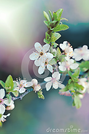 Free Flowering Fruit Tree - Blooming Stock Photography - 39872752