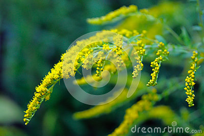 Flowering goldenrod