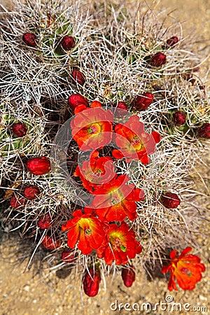 Free Flowering Hedgehog Cactus Royalty Free Stock Photo - 40245585
