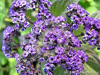 Flowering heliotrope (Heliotrpium)