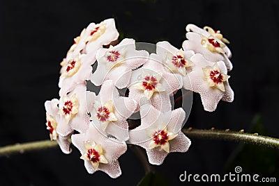 Flowering Ivy wax. Shaggy flowers.