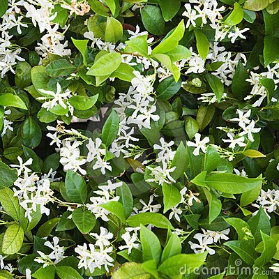 Free Flowering Jasmine. Stock Photo - 3422300