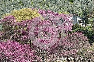Flowering Judas trees