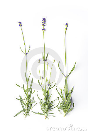 Flowering Lavandula Angustifolia