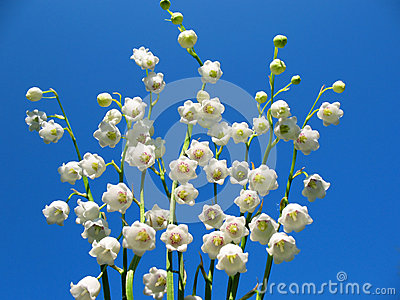 Flowering lily May (Convallaria majalis)