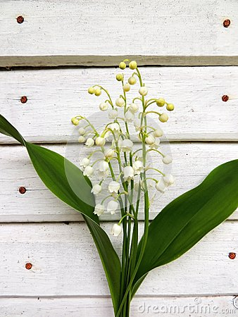 Flowering lily May (Convallaria majalis)