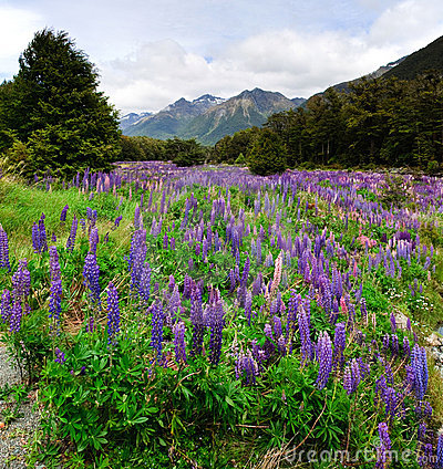 Free Flowering Lupins Stock Images - 14623174