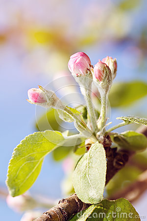 Free Flowering Of Apple-trees, The First Flowers On Fruit Trees Stock Photos - 93275563
