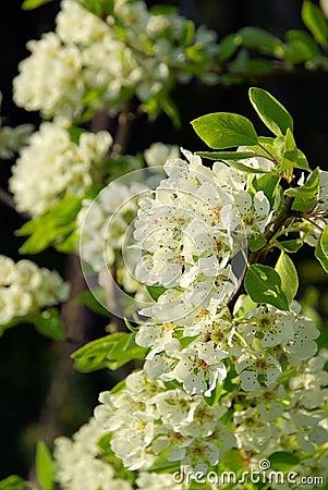Free Flowering Of Pear Tree Royalty Free Stock Image - 11146856