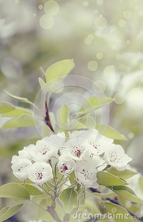 Free Flowering Pear, Colorful Flowers Natural Springtime Background, Blurred Image, Copy Space, Selective Focus Stock Images - 139348934